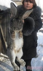 племенной молодняк кроликов гигантов