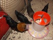 Полнорационный комбикорм для кур-несушек пк 1-2