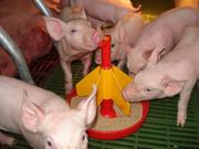 Комбикорм для свиней СКК-58