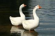 Комбикорм Финишер для водоплавающих птиц