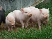Комбикорм Стартер для свиней Пурина