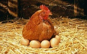 БВМД для яичной птицы 10% Пурина