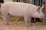Комбикорм Финишер для свиней