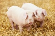 Комбикорм для свиней на откорме