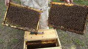 Продажа пчелопакетов Карпатка F1 и Карника 2016 и 2017 года.